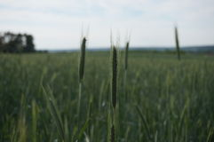 Grünen Sie Getreidefeld Lizenzfreies Stockfoto