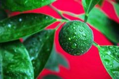 Grünen Sie Mandarine Lizenzfreie Stockfotos