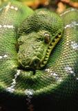 Grünen Sie Pythonschlange Lizenzfreie Stockfotografie