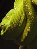 Grünen Sie Pythonschlange Lizenzfreies Stockfoto