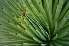 Grünen Sie saftigen scharfen Kaktus, Mexiko lizenzfreie stockfotografie