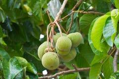 Grünen Sie Santol Frucht Stockfotografie