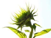 Grünen Sie Sonnenblume Stockfotos