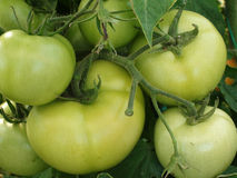 Grünen Sie Tomaten Lizenzfreie Stockfotos