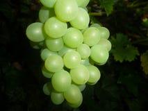 Grünen Sie Weintrauben lizenzfreie stockbilder