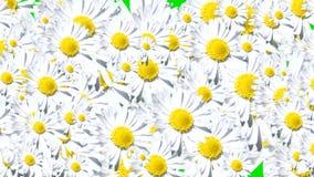 Grüner Übergang der weißen Blumen des Schirmes stock video footage