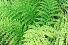 Grüner üppiger Farn Stockfotografie