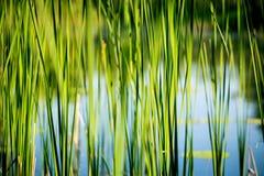 Grüner abstrakter Reedhintergrund Lizenzfreie Stockfotos