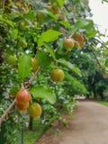 Grüner Acerola, nach Regen auf dem Baum Stockbilder