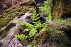 Grüner Adlerfarn und Moos im Wald führen Fotografie einzeln auf Lizenzfreies Stockfoto