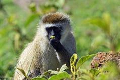 Grüner Affe Stockfoto