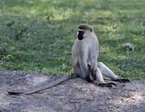 Grüner Affe Stockfotografie