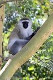 Grüner Affe Stockbild