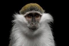 Grüner Affe Stockbilder