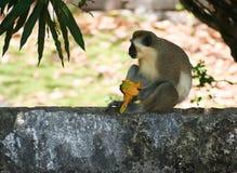 Grüner Affe, der eine reife Mango in Barbados isst Stockfotografie