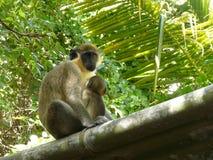 Grüner Affe an der Reserve Barbados-wild lebender Tiere stockfotografie