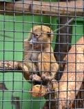 Grüner Affe in einem Käfig Stockfotografie