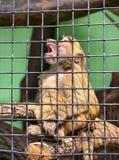 Grüner Affe in einem Käfig Stockbild