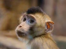 Grüner Affe (Junges) Stockbilder