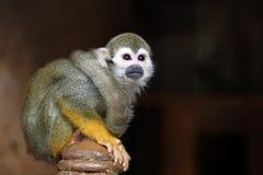 Grüner Affe untersucht den Abstand beim Sitzen auf dem Podium Stockfotos