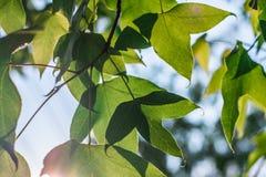 Grüner Ahornblatthintergrund im Sonnenuntergang Lizenzfreies Stockbild