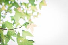 Grüner Ahornblatthintergrund im Sonnenuntergang Lizenzfreie Stockfotografie