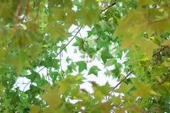 Grüner Ahornblatthintergrund im Sonnenuntergang Lizenzfreie Stockfotos
