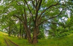 Grüner alter Eichensommer-Landschaftshintergrund Lizenzfreie Stockfotografie