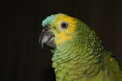 Grüner Amazonas-Papagei Stockbilder