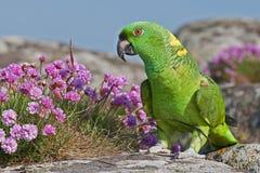 Grüner Amazonas-Papagei stockfoto