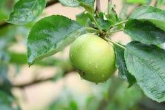 Grüner Apfel Stockfotos