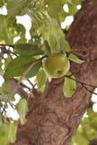 Grüner Apfel auf Baum lizenzfreie stockbilder
