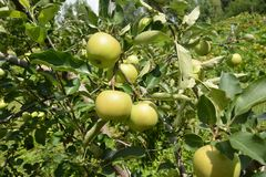 Grüner Apfel auf dem Apfelbaum mit schönem Sommerhintergrund stockbild