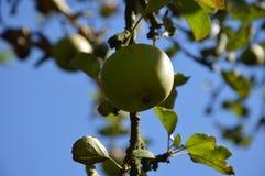 Grüner Apfel auf einem Baum Lizenzfreie Stockfotos