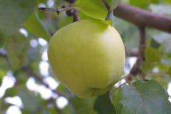 Grüner Apfel auf einem Brunch Stockbilder