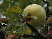 Grüner Apfel auf einem Zweig stockfotos
