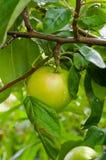 Grüner Apfel auf einem Zweig Lizenzfreie Stockfotos