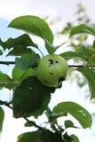 Grüner Apfel beschädigt durch einen Wurm stockfotos