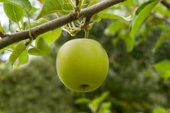 Grüner Apfel golden Stockfotografie