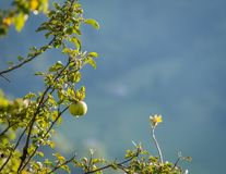 Grüner Apfel im Herbst Stockbilder