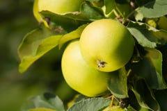Grüner Apple. Abschluss oben. Stockbild