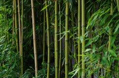 Grüner Bambus außerhalb einer Wand Stockfoto