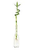 Grüner Bambus in der Glasflasche Stockfotografie