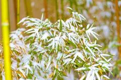 Grüner Bambus im weißen Schnee Stockfotografie