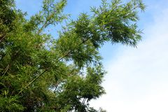 Grüner Bambusbaum Lizenzfreies Stockfoto