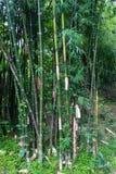 Grüner Bambuswald lizenzfreie stockbilder