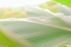 Grüner Bananenblatt-Hintergrundauszug Lizenzfreies Stockfoto
