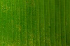 Grüner Bananenblatt-Hintergrundauszug Lizenzfreies Stockbild