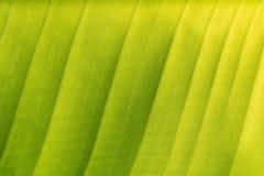 Grüner Bananenblatthintergrund, Beschaffenheit (nahe hohe) Stockfoto