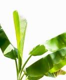 Grüner Bananenlaubbaumhintergrund Stockfotos